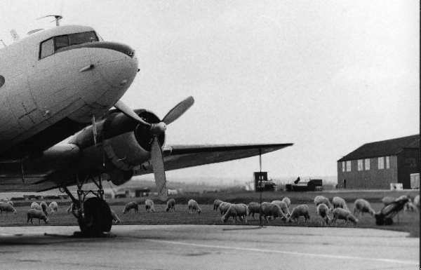 A Sembach C-47 surrounded by sheep from a local farm. Photo by Clifton D. Lewis